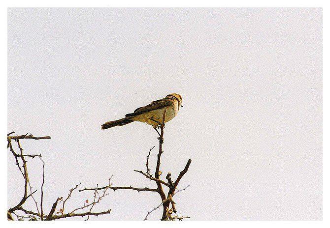 faune de Namibie, oiseaux, septembre 1998