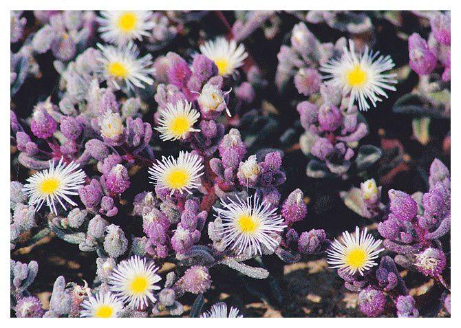 après la pluie, très rare, un champ de fleur : ficoide nodiflore (Mesembryanthemum crystallinum) qui ne durera qu'une quinzaine de jours...et peut ne se reproduire que dans 5 ou 10 ans