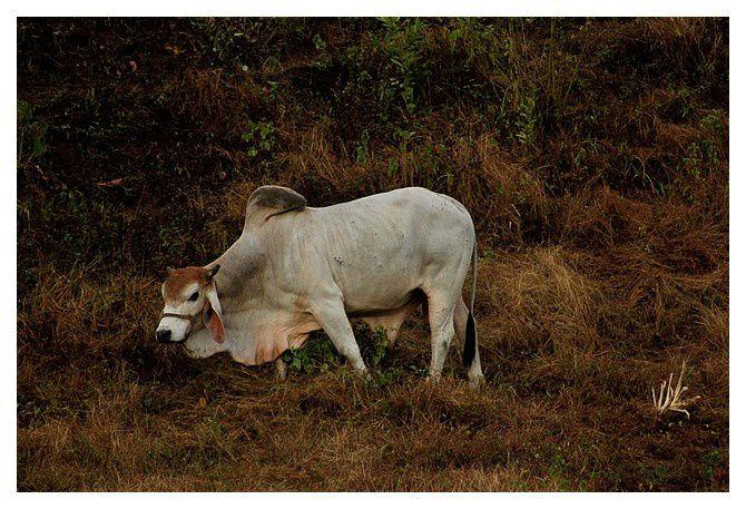 zébu ... Bos taurus indicus; ordre des cétartiodactyles, famille des bovidés ... lieu : Uvita