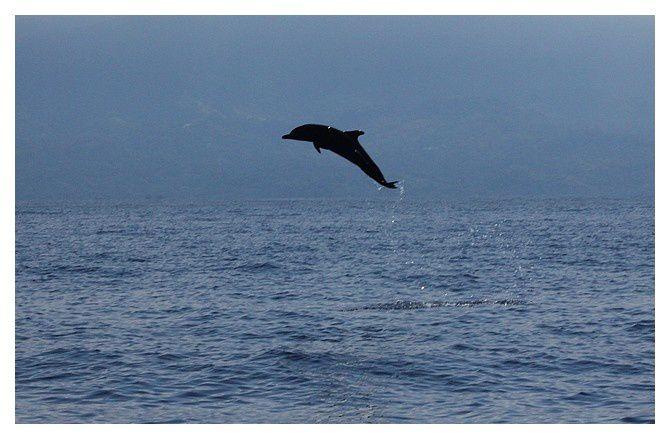 Grand dauphin ... Tursiops truncatus ; ordre des cétartiodactyles, famille des dephinidés ... lieu : Uvita