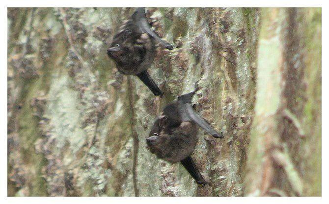 chauve-souris à long nez ... Rhynchonycteris naso; ordre des chiroptères, famille des emballonuridés ... lieu :  Monteverde