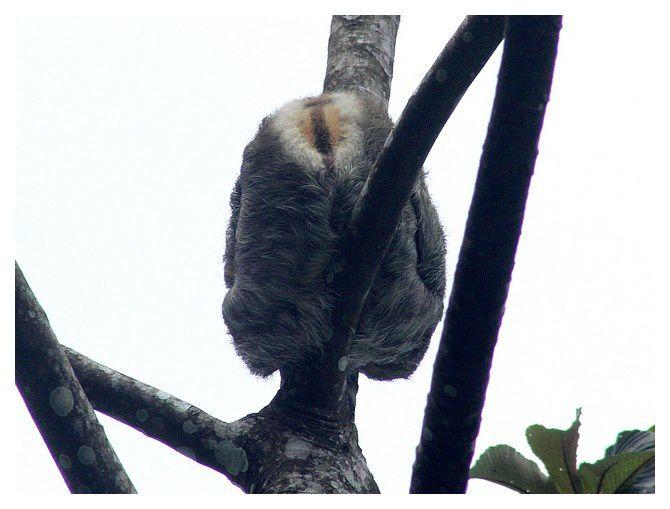"""le dos bien marqué : donc un mâle ... marque appelée """"spéculum"""", de couleur orange et barrée longitudinalement d'une ligne sombre"""