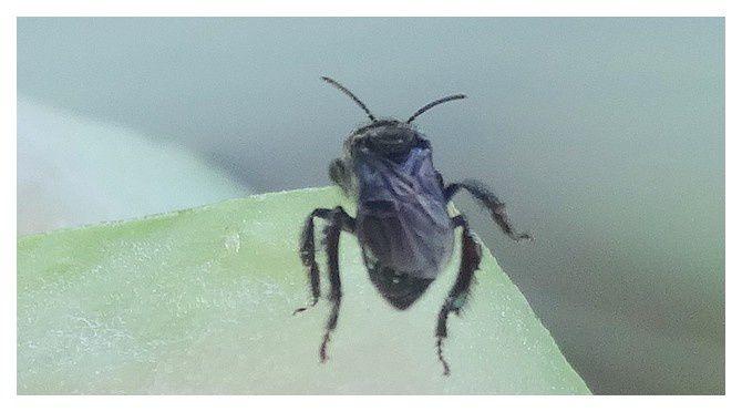 n°7    abeille  ; ordre des hyménoptères  ...  lieu : Uvita