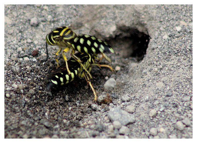 n°3    guêpes des sables  ; ordre des hyménoptères  ...  lieu : Monteverde