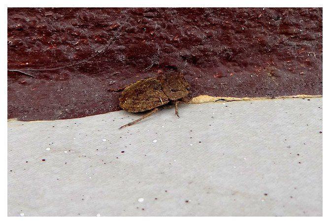 n°13 coléoptère,  espèce à déterminer ; lieu : Uvita