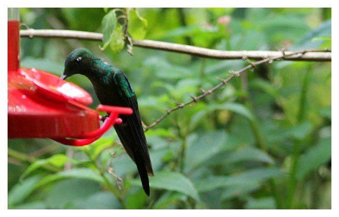 colibri : Brillant fer-de-lance ...  Heliodoxa jacula; Ordre des Apodiformes, Famille des Trochilidés; lieu : jardins La Paz