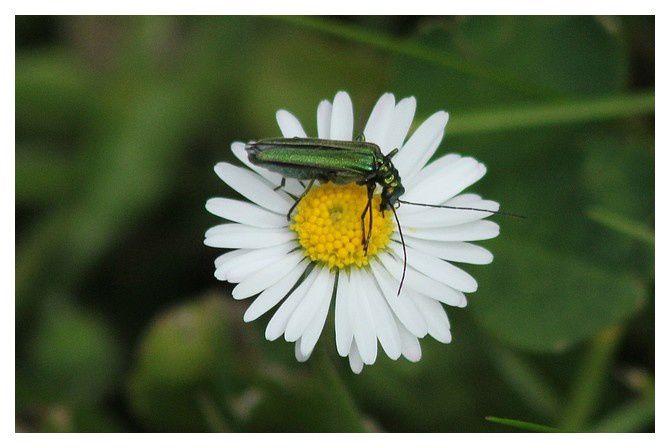 'Œdémère noble ... Oedemera nobilis; ordre des coléoptères, famille oedémèridés