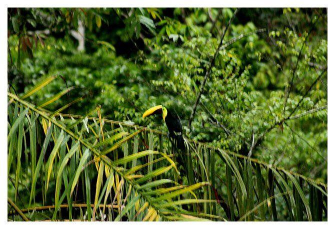 Toucan de Swainson ... Ramphastos ambiguus swainsonii; Ordre des Piciformes Famille des Ramphastidés; lieu : Uvita