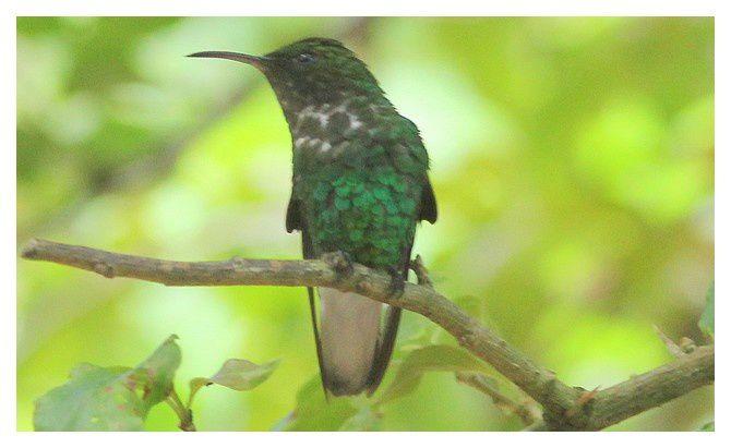 Colibri à tête cuivrée ... Elvira cupreiceps ; Ordre des Apodiformes Famille des Trochilidés; lieu : Jardin La Paz