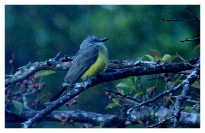 n° 11 - passereau à identifier; lieu : Monteverde