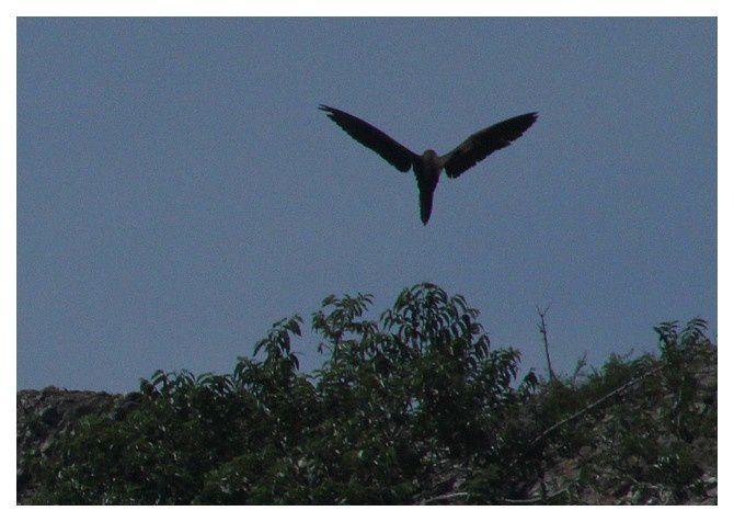 n° 23 - oiseau marin à identifier,  lieu : Uvita