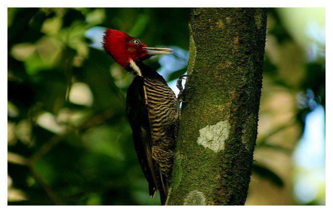 Pic ouentou ... Dryocopus lineatus; Ordre des Piciformes Famille des Picidés, lieu : Tortuguero