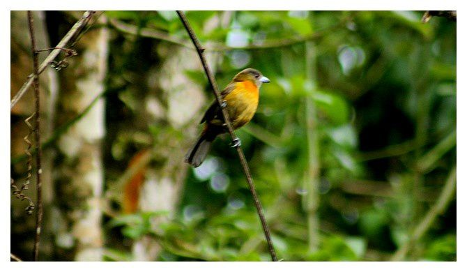 Tangara du Costa Rica (femelle) ... Ramphocelus costaricensis; Ordre des Passériformes Famille des Thraupidés; lieu : Uvita