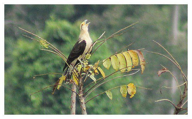 Caracara à tête jaune  ...  Milvago chimachima; Ordre des Falconiformes, Famille des Falconidés, lieu : Uvita