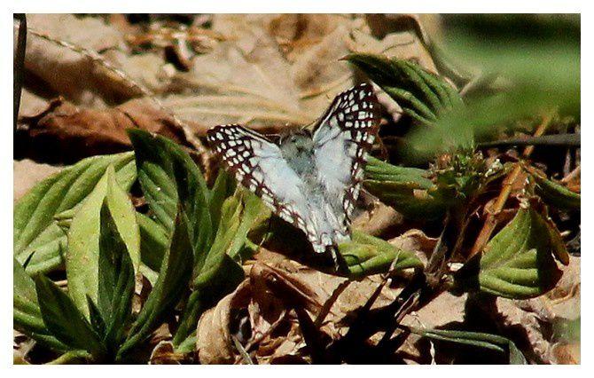 L'Hespérie tropicale à damier  ... Pyrgus oileus; famille des hespéridés