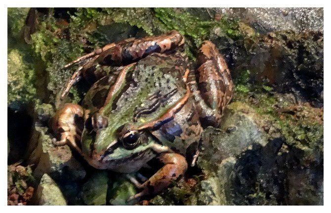 grenouille verte ... Lithobates clamitans -à confirmer-; Ordre des Anoures Famille des ranidés
