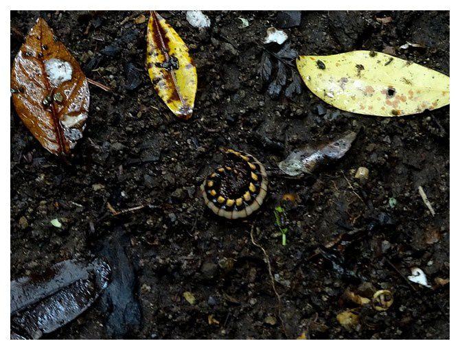 Nyssodesmus python;  Ordre des Polydesmidés; Famille des Platyrhacidés; lieu : Monteverde