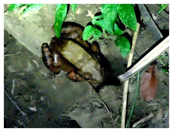 n°4  à identifier; lieu : Dominical (rando de nuit)