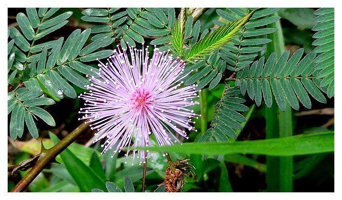 mimosa pudique ... Mimosa pudica, plante rampante dont les feuilles se rétractent lorsqu'on les touche.