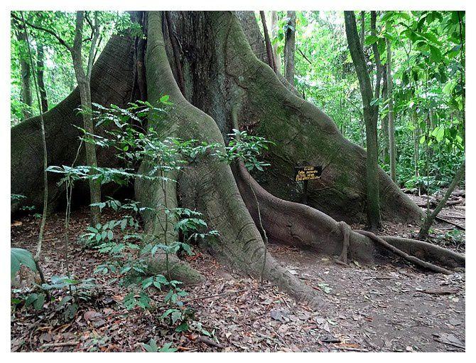 El Ceibo : âge 400 ans ;   ... Ceiba pentandra ou fromager ou kapokier, arbre sacré des Mayas