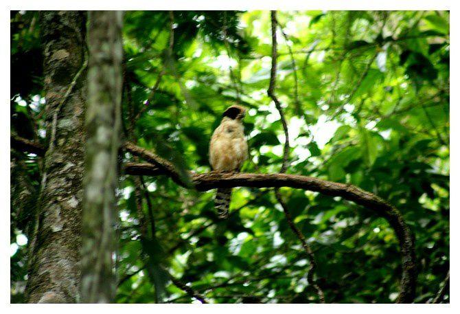 faucon Macagua rieur ... Herpetotheres cachinnans