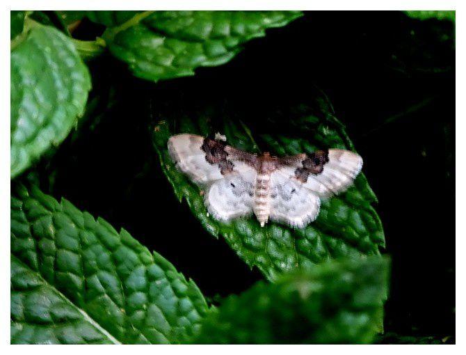 la phalène rustique ...  Idaea rusticata; ordre des lépidoptères; famille des géométridés
