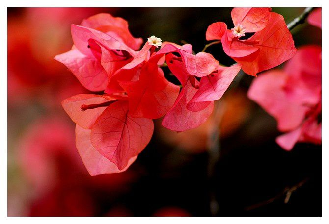 27 bougainvilliers