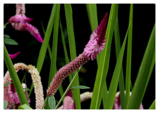 47 célosie argentée  ... Celosia argentea