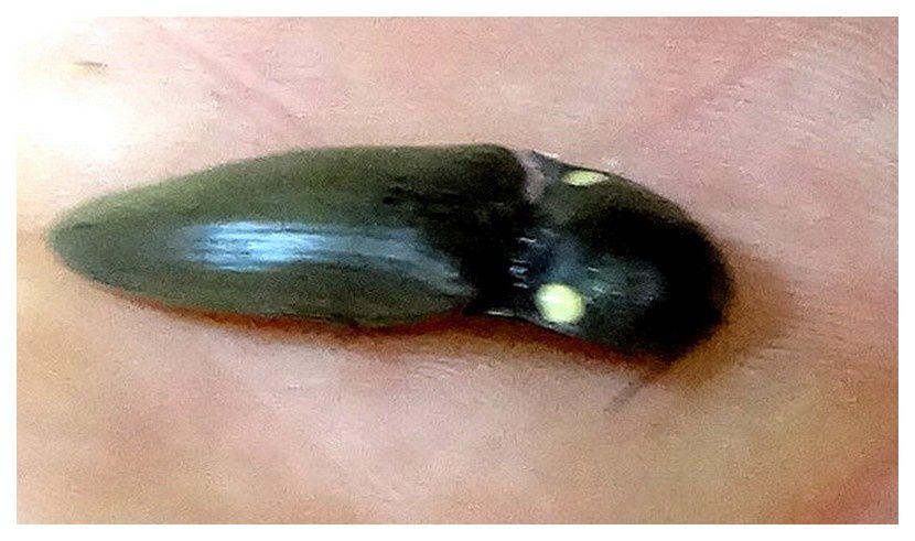 tucu-tucu ou cucubano (coléoptère, élatéridé)