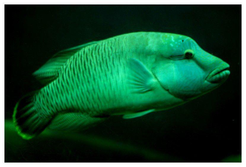 labre géant ou poisson napoléon ...  Cheilinus undulatus; ordre des perciformes, famille des labridés