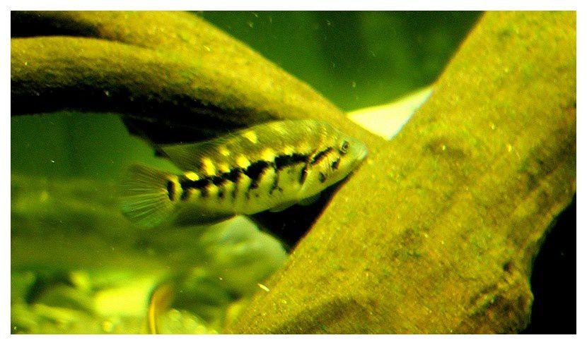 Haplochromis sp. ordre des perciformes, famille des cichlidés