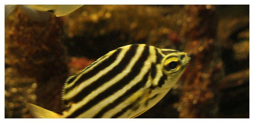 poisson bagnard ... Microcanthus strigatus; Order des Perciformes Famille des Kyphosidés