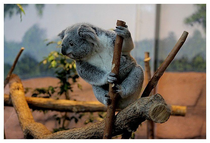 koala du Queensland