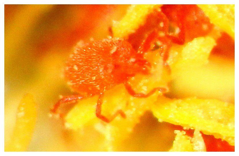 acarien rouge... Trombidium holosericeum; famille des Trombidiidés