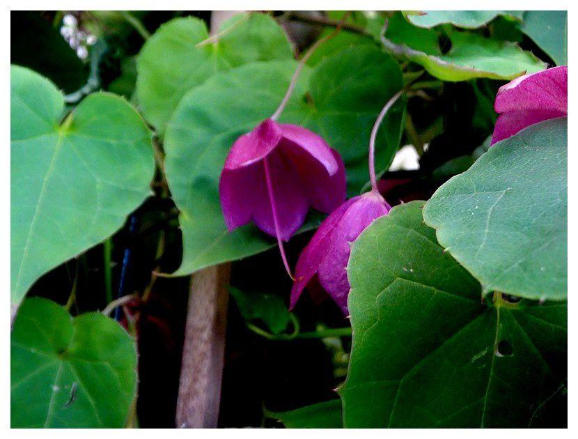 chapeau chinois  ... Rhodochiton atrosanguineum; famille des Plantaginacées
