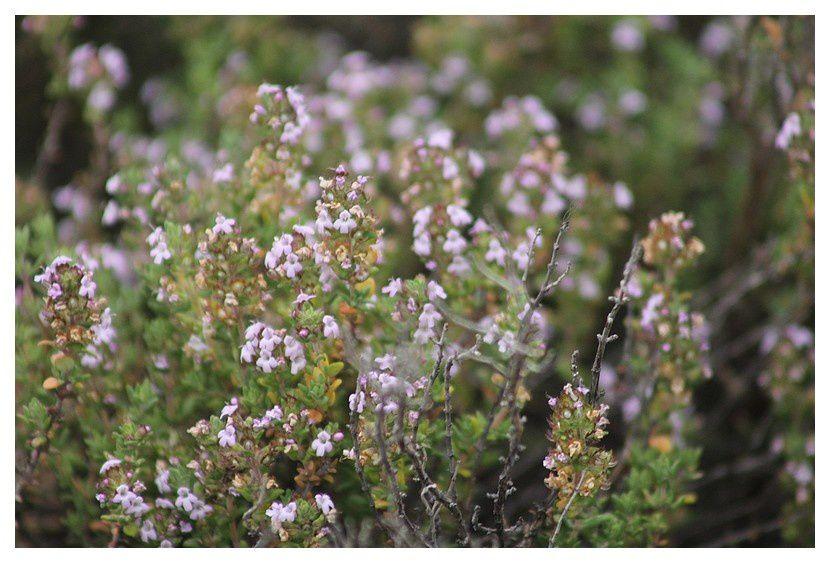 Thym  ... Thymus vulgaris; Famille des Lamiacées