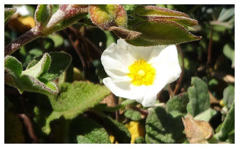 ciste blanc ... Cistus salviifolius; Famille des Cistacées