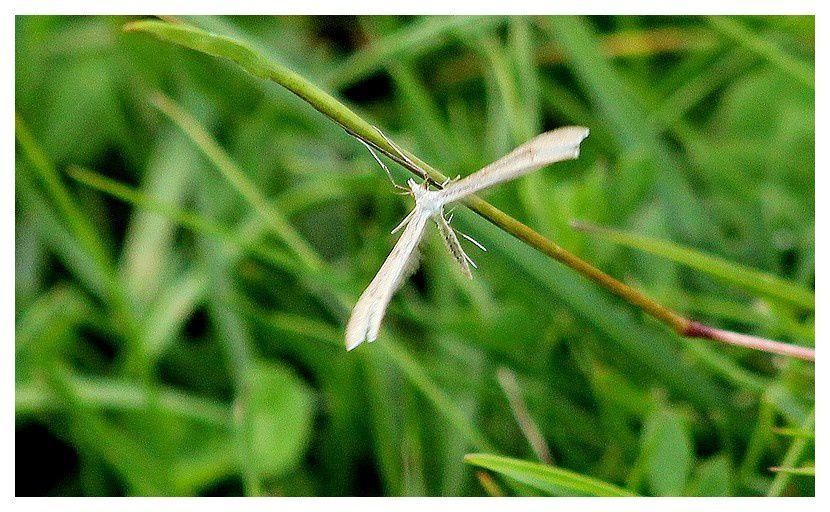 pterophore  ... Hellinsia alpinus; ordre des lépidoptères, famille des ptérophoridés