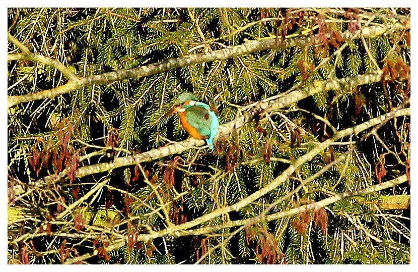 martin pêcheur, pris de très très loin
