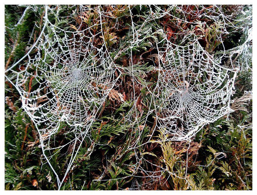 toiles d'araignée d'habitude invisibles et, ici, dessinées par le givre ... sur fond de thuyas