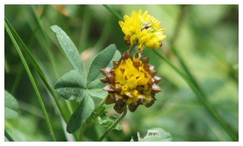 trefle d'or des montagnes ...  Trifolium badium ;  famille des Fabacées