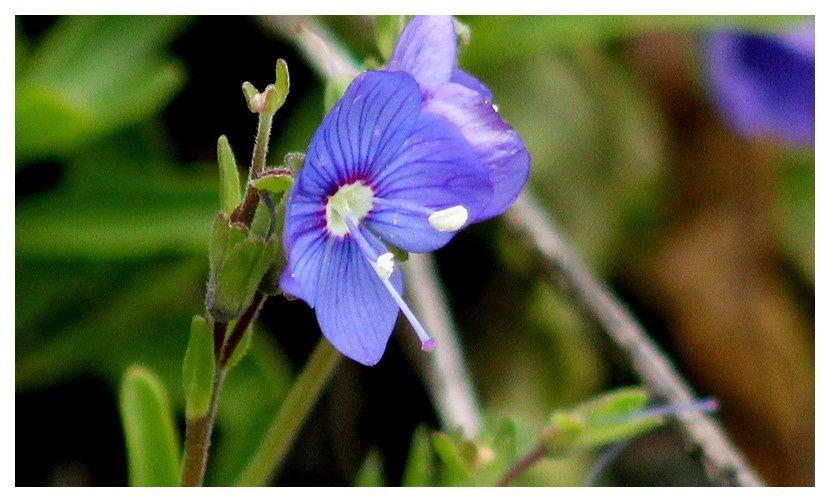 véronique des Alpes  ... Veronica alpina ; famille des Scrophulariacées