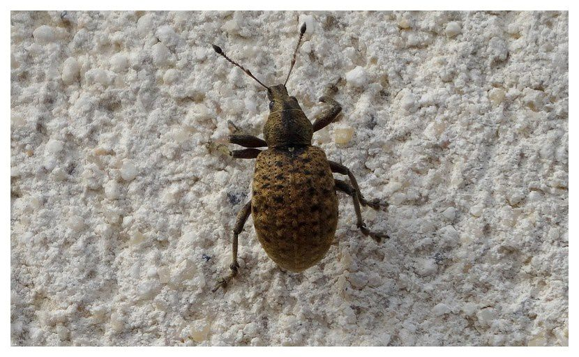 Liophloeus tessulatus (charançon)