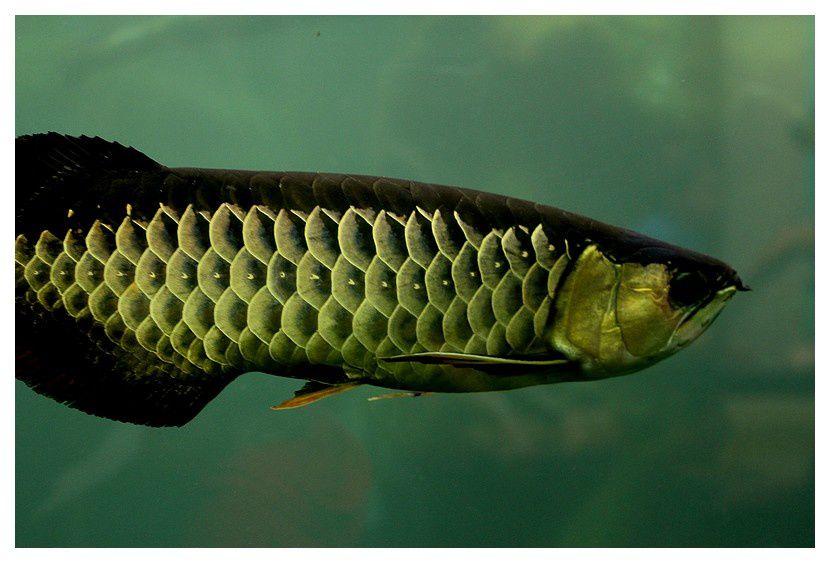 poisson dragon ... Scleropages formosus