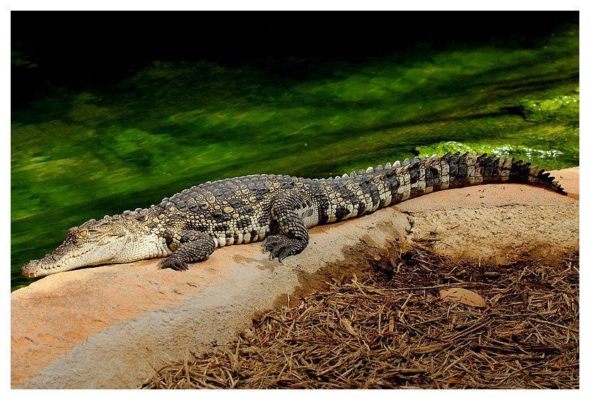 crocodile des philippines ... Crocodylus mindorensis. (Schmidt, 1935 )