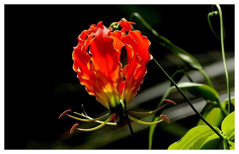 Lis de Malabar  ... Gloriosa superba rotschildiana