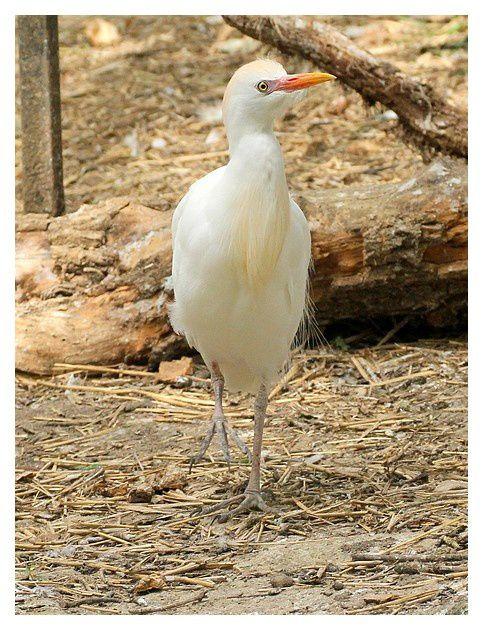 Héron garde-boeuf ... Bubulcus ibis; ordre des Ciconiiformes