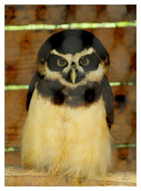Chouette à lunettes ... Pulsatrix perspicillata; ordre des Strigiformes