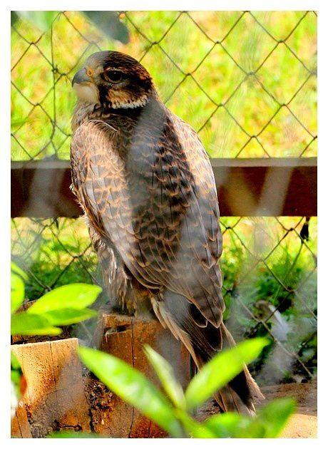 Faucon crécerelle ... Falco tinnunculus; ordre des falconiformes