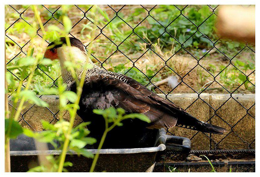 caracara huppé ... Caracara plancus;  ordre des falconidés